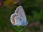Idas Blue (Plebejus idas)